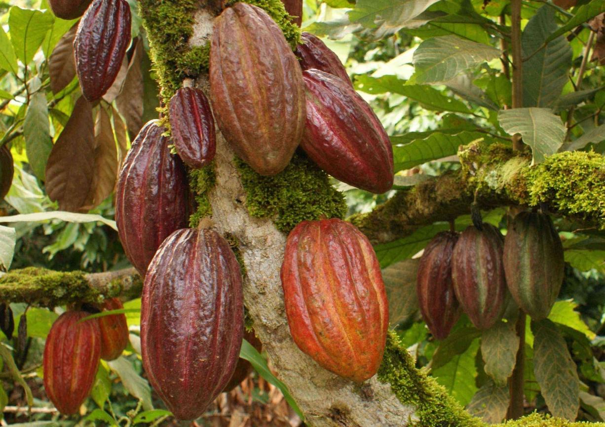 Empresas disminuyen la exportación de cacao